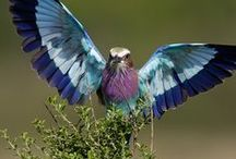 Tanzania: Lilac Breasted Roller
