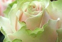 Rosas  and Roses / Quando eu olho uma flor eu medito.Meditar também é olhar com amor para a natureza.