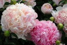 Peônias e ranunculus / As peônias são flores lindas. Os ranunculus são divinos.