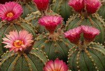 Cactus Maravilhosos e Estranhos / a diversidade dessa planta e suas flôres me encantam