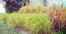 Trawy ozdobne/ Ornamental grasses / Trawy piękne wyglądają pięknie w ogrodzie, zwłaszcza jesienią!