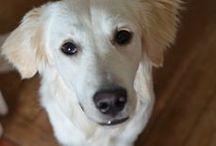 My dog !! / My golden retriever Yoda