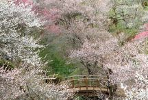 Hanami / Joining a hanami is in my bucket list so...
