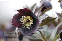Helleborus / De soorten die wij kweken als snijbloem
