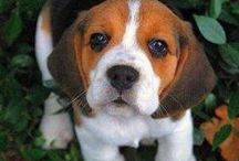 Beagles are the Best! / I had my beagle, Snickers, for 15 years. Best dog ever! They snuggle their way into your heart.
