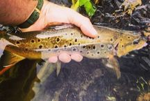 Fishing and Fish  / www.flyfishingpodcast.com #trout #fly fishing #sport #brown trout #fish #fly tying #fly