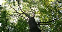 Frêne / Le frêne est le bois de chauffage idéal pour la cheminée. Bois dur et élastique. Il permet un feu lent et donne une bonne chaleur et une belle flamme  #boisdechauffage #bonbois #bois2chauffage.fr #boissec #boisbiensec