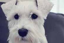 maybe a schnauser... / by Lisa Hager