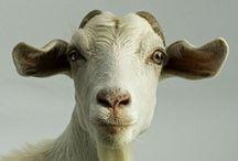 Goats / by Lara Kelly