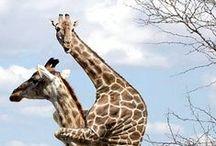 ..Giraffe Lover Eye Candy.. / For giraffe lovers...all things giraffe.