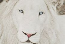 ..Lion Lover Eye Candy.. / For lovers of lions and cubs...all things lion.