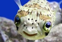 ..Fish Lovers Eye Candy.. / For fish lovers and owners...all things fish. #fish #aquatic #aquarium #tropical