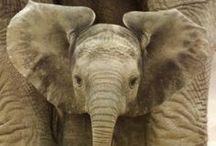 ..Elephant Lovers Eye Candy..