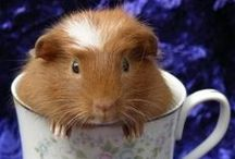 ..Guinea Pig Lovers Eye Candy.. / by PetsLady
