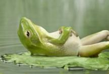 ..Frog Lovers Eye Candy.. / Everything for frog and toad lovers. #frogs #toads #pets