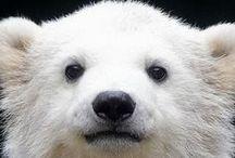 ..Polar Bear Lovers Eye Candy..
