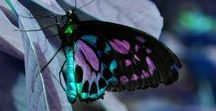 Butterflies / Blue butterflies, butterfly graphics