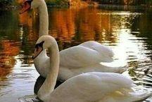 Swans / Paint / Art