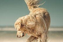 FURRY FRIENDS, BELOVED DOGS / Golden retrievers, Bernese mountains & Cairn terriers