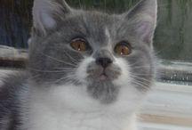 British Kurzhaar / Katzen