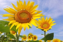 Love Sunflowers / by Janice McGrath