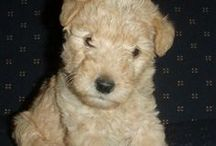 Puppies! / It's a puppylove ♥ | Dogs under 9 mth old | The cover puppy is Lakeland Terrier (: / by Annika Maria