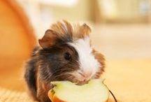 Guinea pig / Mazlíčci,jsou nádherná.