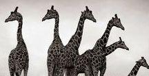 Giraffe / neskutečná krása a elegance