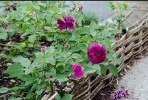 Giulio's roses