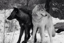 Wolves ♥️♥️