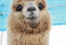 alpacas  / Fluffy <3