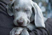Pets ~ Weimaraner Love / For my big boy...Shadow / by Bev Murphy