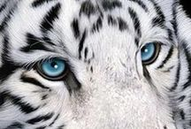 Wildlife ~ Tigers / Have long been fascinated by this beautiful creature ~ the Tiger.