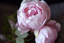 Flowers ~ Roses / This board is dedicated to my mother, she so loves the beauty of the Rose~many colors and varieties.