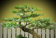 Bonsai Trees / The beautiful Japanese art form of miniature trees grown in containers.  / by Bev Murphy