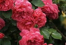 Roses / ~Don't buy me a bouquet of roses.~ Please buy the whole plant.~ / by Deborah Beiter