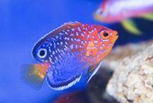 Saltwater Fish / Saltwater Fish, marine aquariums and reef tanks