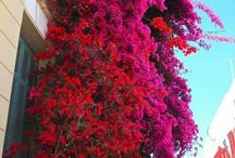Mykonos & Bougainvillea / The flower of Mykonos