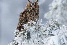 Bufnite/Owls