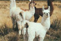 llama & alpaca & cabra
