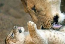 Big Cats / So many pins they need their own board!  / by Vicki Gallmeyer