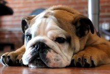 Bully Love / Never had one, always wanted one...maybe someday! / by Vicki Gallmeyer