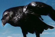 Science of CROWS / Researching the science of corvids