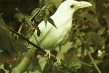 The Whites Crows & Ravens / Pale feathered birds are melanin free - Leucistic Pink eyed birds,melanin free blood - Albinistic