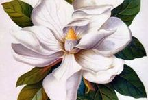 illustration: botanical / Botanical illustration is the art of depicting the form, color, and details of plant species, frequently in watercolor paintings.