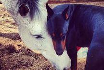dobermans / de mooiste en liefste hond van allen