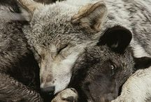 Wolves / Beautiful photos, artwork and quotes of wolves.