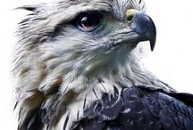 Eagles and Hawks / The masters of the bird world. Photos and artwork.