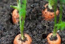 Moestuin maart / Het moestuinseizoen is begonnen! Dat betekent dat we mogen beginnen met zaaien. Denk hierbij aan wortelen, spinazie, spruitjes, raapstelen, radijs of snijbieten. Als de grond nog te koud is, kan je deze warmer maken door de grond af te dekken met een doorzichtig folie.
