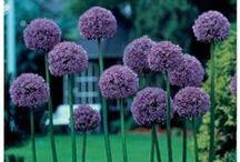 Our Ornamental Allium Flower Garden / @ http://themuddykitchen.com